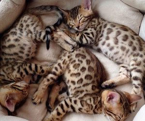 beautiful, bengals, and kittens image