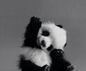 panda, blackndwhite, and cute image