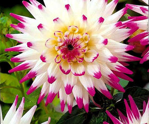 dahlia and flower image