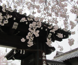 japan and cherry blossom image