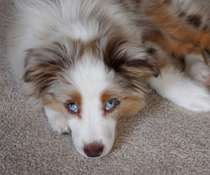 australian shepherd, blue eyes, and pretty image