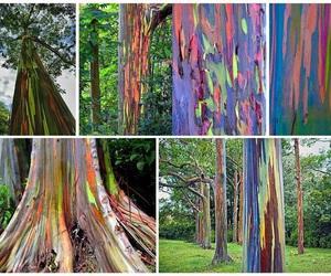 rainbow eucalyptus image