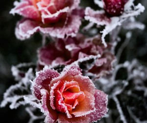 rose, flowers, and winter image