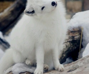 fluffy, snow, and artic fox image