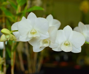 beautiful, flowers, and dendrobium image