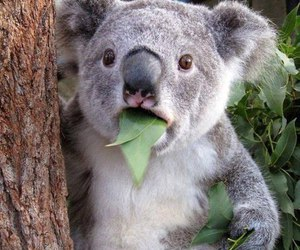 Koala, animal, and funny image
