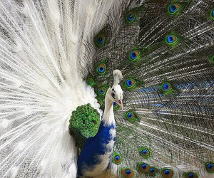 peacock, animal, and bird image
