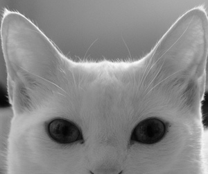 cat, beautiful, and black and white image