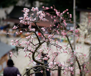 cherryblossom, nature, and japan image
