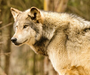 wolf, woof!, and wolfie! image