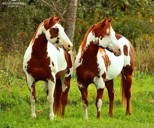 horses, paint horses, and equines image
