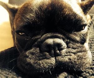 black, bulldog, and dog image