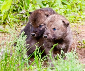 animals, pups, and wolves image