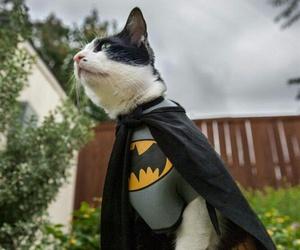 batman and cat image