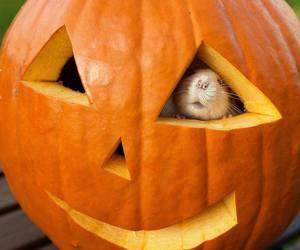 rat, cute animals, and Halloween image