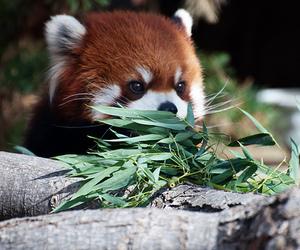cute, panda, and Red panda image