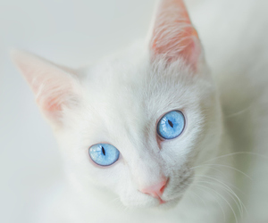 beutiful, blue, and cat image
