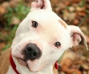 pitbull and dog image