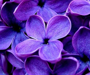 flowers, purple, and lilac image