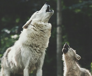Animales, wolf, and animals image