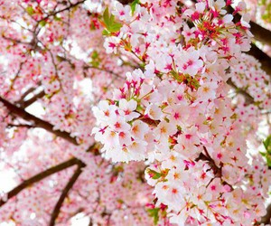 blossom, cherry, and pink image