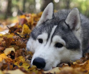dog, husky, and autumn image