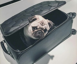 city life, classy, and pugs image