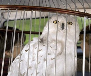 hedwig, harry, and ron image