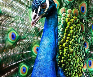 animal, colours, and peacock image