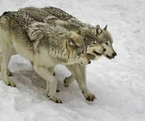 animal and wolf image