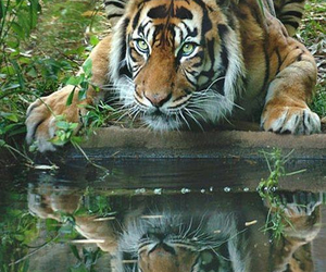 lovely, tiger, and animal image