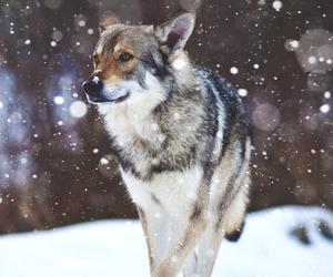 animal, snow, and wolf image