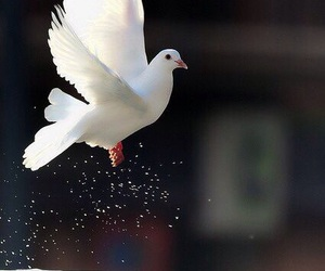 bird, dove, and white image