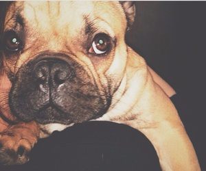buster, frenchbulldog, and frenchie image