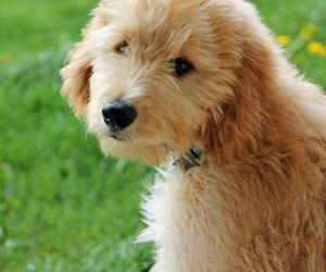 puppy, goldendoodle, and cute image