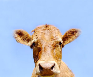 cow and cute image