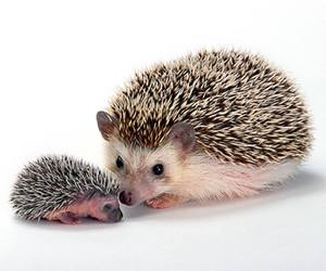baby animals, cute animals, and hedgehog image