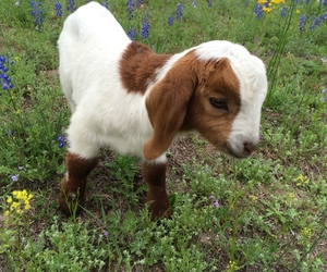 animal, baby goat, and flowers image