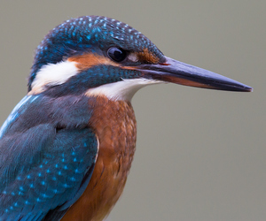 aves, bird, and kingfisher image