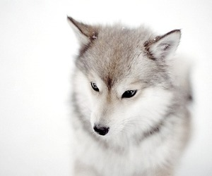 animal, wolf, and snow image