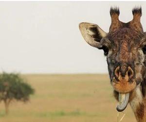 africa, tanzania, and giraffe image
