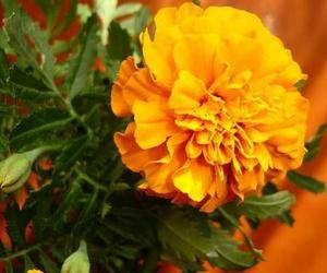 flor, tradicion, and cempasuchil image