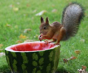 squirrel and watermelon image