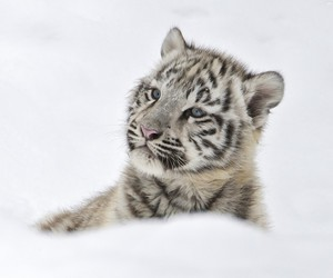 animal, baby animals, and big cats image