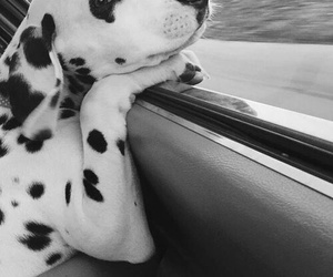 dog, dalmatian, and cute image