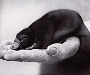 awwwwwwwww and baby platypus image