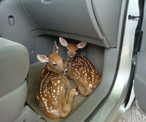 deer, animal, and car image