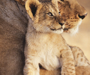 animals, baby, and lioness image