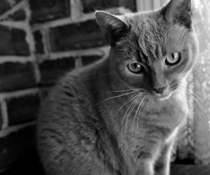 beautiful, black and white, and cat image