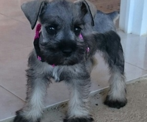 dogs, pet, and schnauzer image